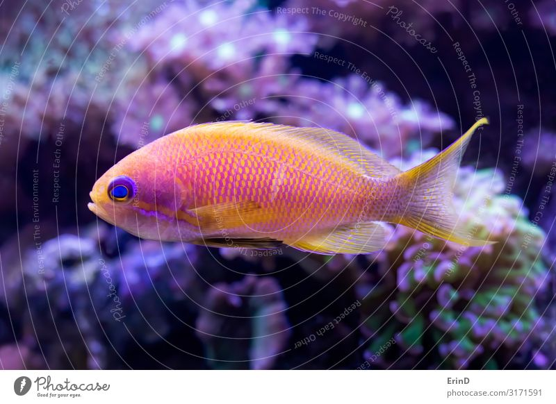 Bright Pink and Yellow Anthias Tropical Fish with Corals Beautiful Face Leisure and hobbies House (Residential Structure) Nature Animal Pet Aquarium Funny Cute