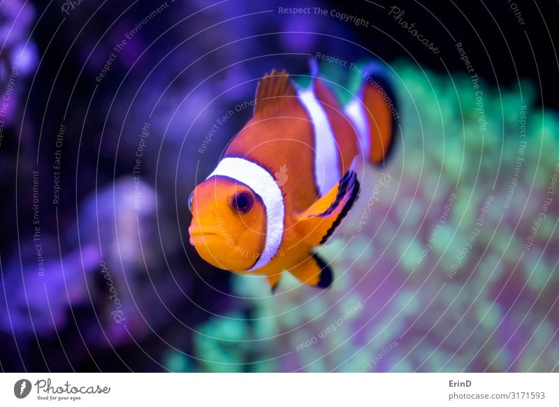 Close Up Clown Fish Tropical Orange and White in Fish Tank Beautiful Face Leisure and hobbies House (Residential Structure) Nature Animal Pet Aquarium Stripe