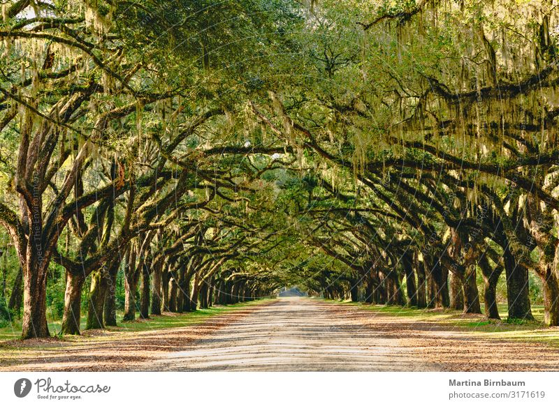 Alley lined with ancient live oak trees draped in spanish moss Beautiful Vacation & Travel Tourism Summer Nature Landscape Autumn Tree Moss Leaf Park Forest