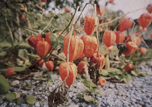 We are the Lampions, my friends Environment Nature Plant Earth Autumn Beautiful weather Bushes Chinese lantern flower Hang Growth Together Under Many Red
