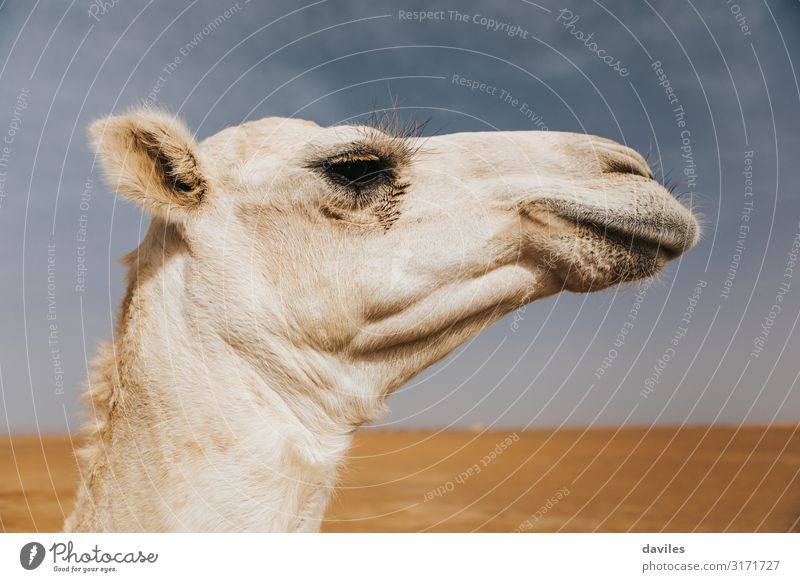 Profile view of white camel head in the desert Sky Vacation & Travel Nature Summer White Landscape Animal Art Tourism Sand Trip Head Transport Adventure Cute