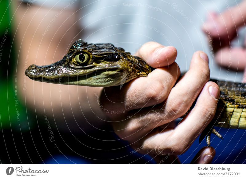 Hold on tight! Vacation & Travel Adventure Expedition Hand Wild animal 1 Animal Fear Fear of death Crocodile Captured Dangerous Brazil Amazonas Hunter