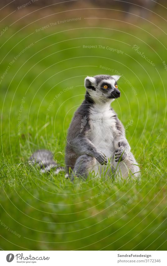 A lemur sits alone in the grass outdoors Summer Family & Relations Zoo Nature Animal Wild animal 1 Friendliness Curiosity Green Love of animals mammal For white