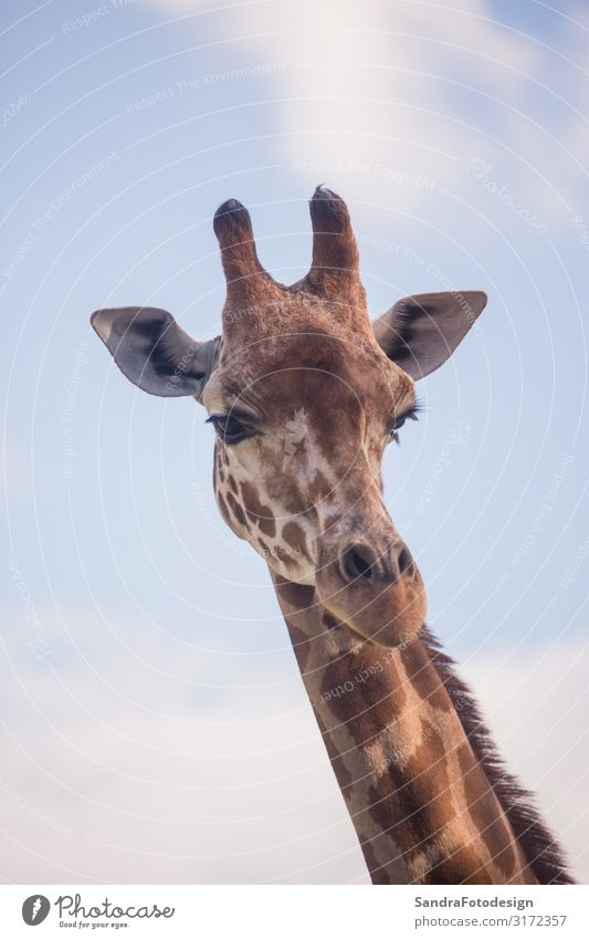 The head of a giraffe against a blue sky Vacation & Travel Safari Zoo Nature Animal Wild animal 1 Cool (slang) Curiosity Love of animals neck Africa Giraffe