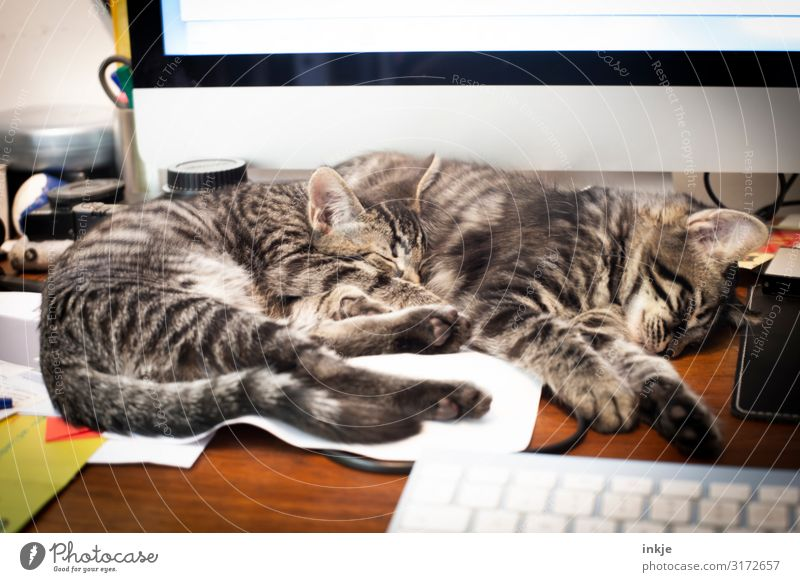 At work you shall rest Lifestyle Living or residing Flat (apartment) Office work Computer Keyboard Pet Cat 2 Animal Pair of animals Baby animal Desk Lie Sleep