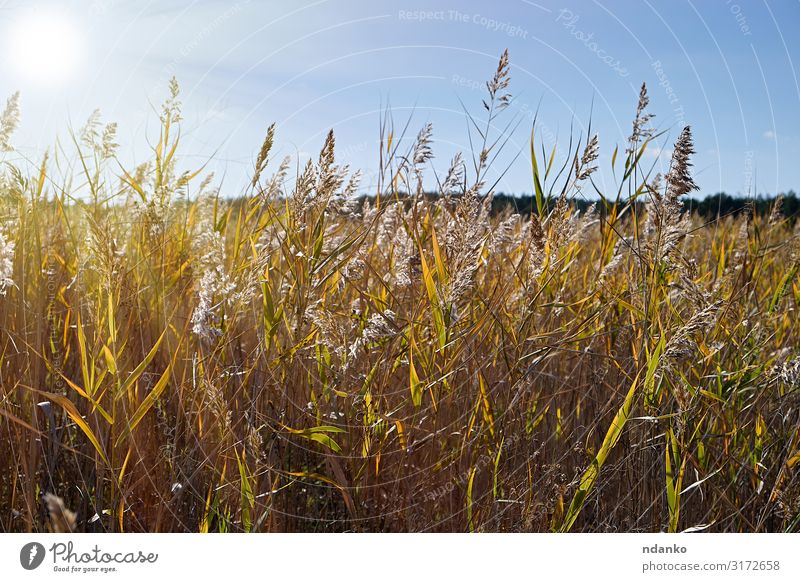dry stalks of reeds at the pond Summer Sun Environment Nature Landscape Plant Sky Autumn Grass Leaf Meadow Pond Lake Growth Natural Wild Brown Yellow Gold Green