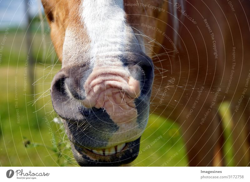 Close up of horse's mouth. Cold - sniffles - sick horse sneezes ill. brown horse sneezes on the background of green grass, meadow Lifestyle Equestrian sports