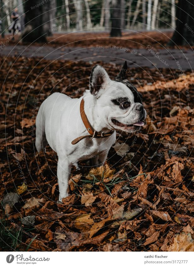 Iggy II Environment Nature Autumn Tree Leaf Forest Animal Pet Dog 1 Smiling Stand Esthetic Cute Brown Joy Happiness French Bulldog Breathe Leather strip