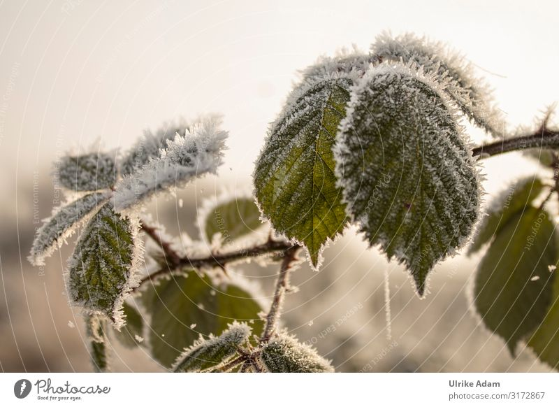 hoarfrost on blackberry leaves Wellness Harmonious Contentment Relaxation Calm Meditation Spa Christmas & Advent Nature Plant Sunrise Sunset Winter