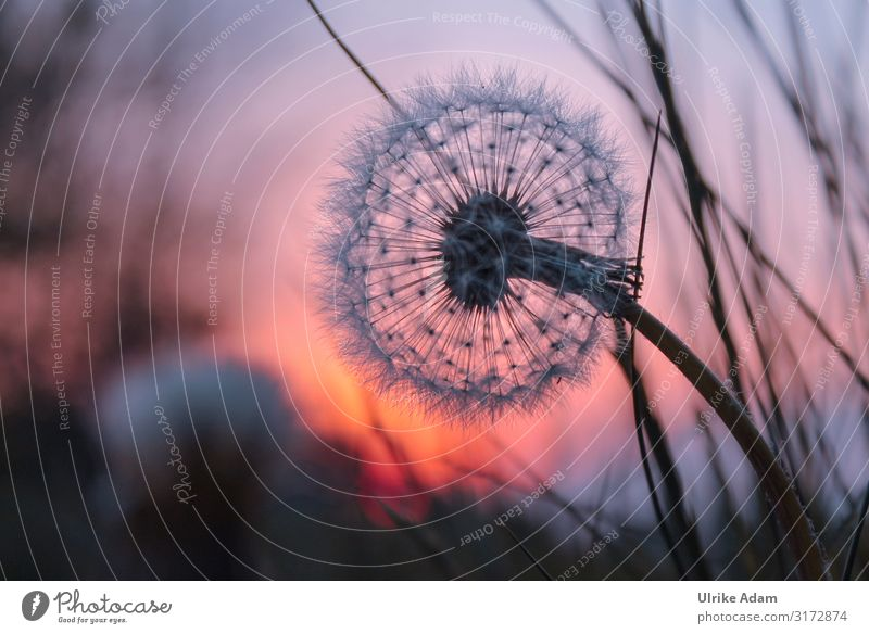Dandelion in the evening light Design Wellness Harmonious Meditation Spa mourning card Funeral service Nature Plant Summer Autumn Flower Blossom Meadow Field