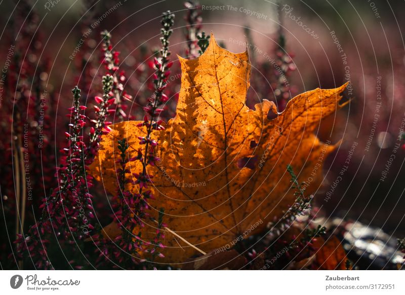 Nature Colour Beautiful Leaf Autumn Natural Brown Dream Gold Transience Violet Autumn leaves Maple leaf Sympathy Maple tree Shadow play