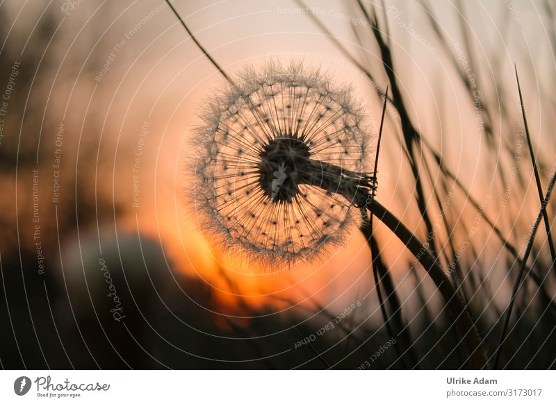 Dandelion in the evening light Wellness Life Harmonious Well-being Contentment Relaxation Calm Meditation Spa mourning card Card Funeral service Nature Plant