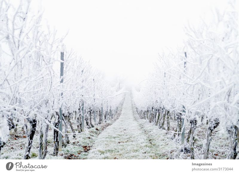 "Winter Landscape Vineyard Nature Weather Bad weather Fog Ice Frost Hail Snow Snowfall Cold White Climate ""Snow covered vineyards freezing rain Day icily"