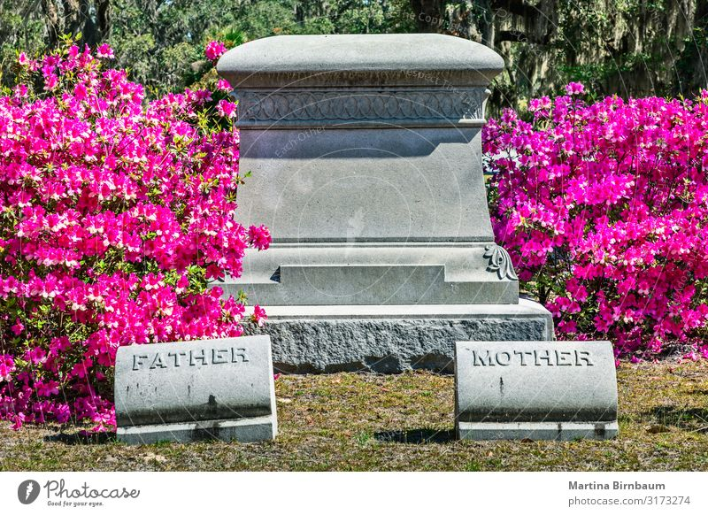 Pink blooming azalea bushes and an empty tombstone Mother Adults Father Landscape Building Architecture Monument Stone Dark Creepy Historic Green Moody Sadness