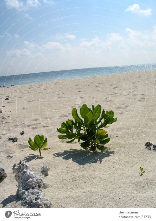 Plant Beach Calm Island Maldives Africa Evolution