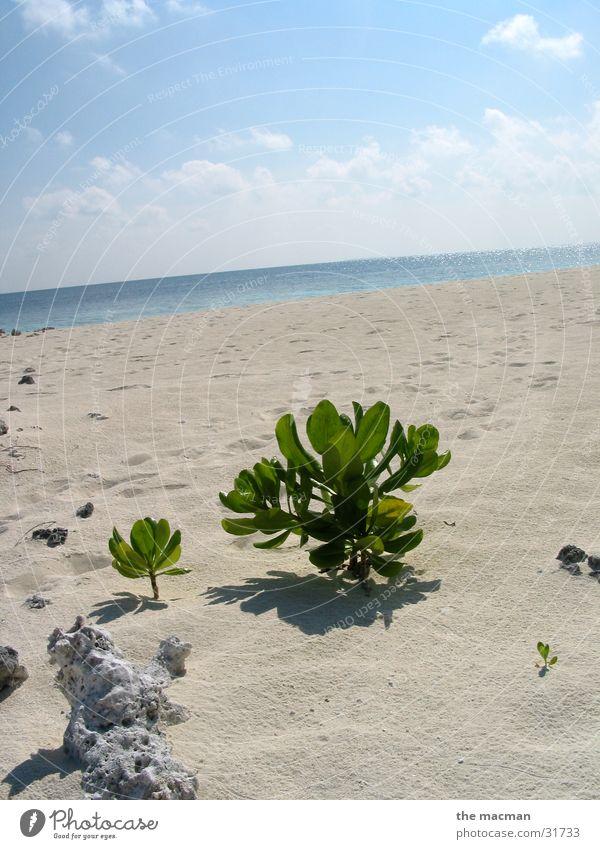 The lonely plant Beach Maldives Calm Plant Evolution Island