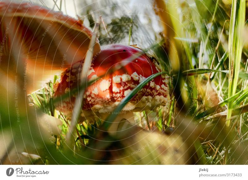 Toxic Idyll Mushroom Mushroom cap Environment Nature Plant Autumn Grass Wild plant Meadow Forest Green Red Poison Amanita mushroom Spore Lamella Colour photo