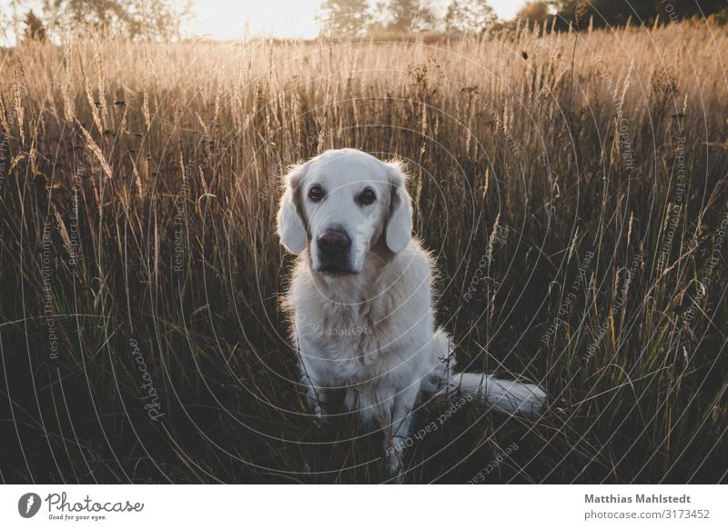 Golden Retriever in the field Environment Nature Landscape Sun Autumn Field Animal Pet Dog 1 Looking Sit Natural Cute Brown Loyal Love of animals Friendship