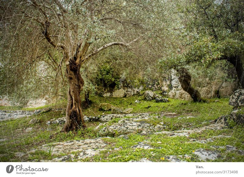 I think I'm standing in the woods. Nature Landscape Summer Plant Tree Grass Bushes Moss Olive tree Forest Rock Beautiful Gray Green Idyll Mystic Old Past