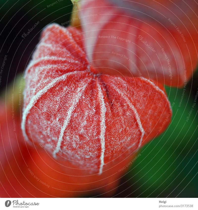 Fruit stand of a lampion flower as close-up with hoarfrost Environment Nature Plant Autumn Ice Frost Flower Chinese lantern flower Garden Freeze Hang