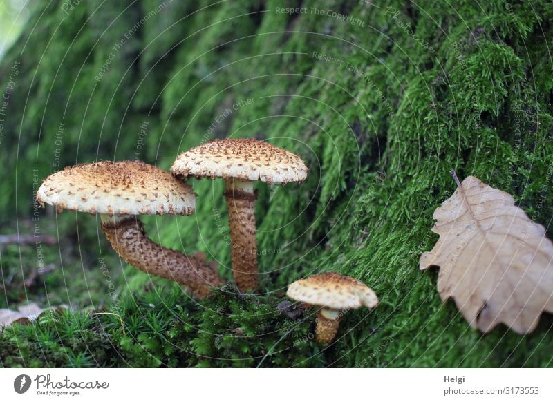 three mushrooms grow on a moss-covered tree trunk in the forest Environment Nature Plant Autumn Tree Moss Leaf Tree trunk Oak leaf Park Stand Growth Esthetic