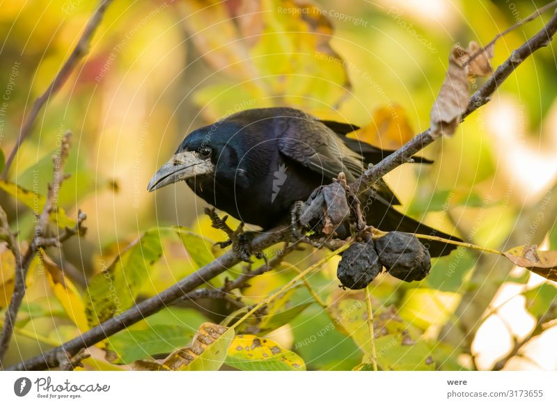 Rook searches for walnuts on a tree Nature Animal Bird 1 To feed Smart Dead Bird raven crow feather feathered forage foraging predator raven bird rook songbird