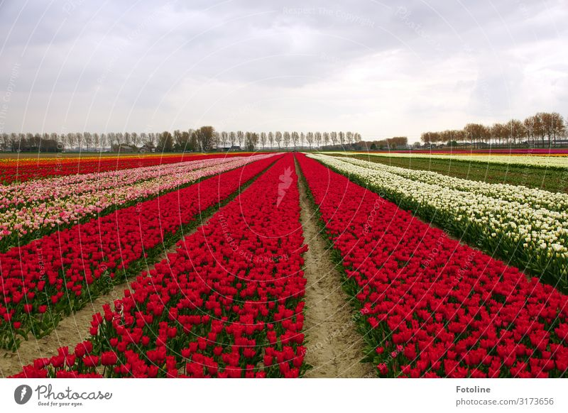 sea of blossoms Environment Nature Landscape Plant Elements Earth Sand Sky Clouds Spring Tree Flower Tulip Blossom Agricultural crop Park Bright Multicoloured