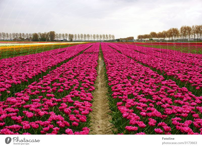 Again in pink Environment Nature Landscape Plant Elements Earth Sand Sky Clouds Spring Tree Flower Tulip Blossom Agricultural crop Park Field Fragrance Bright