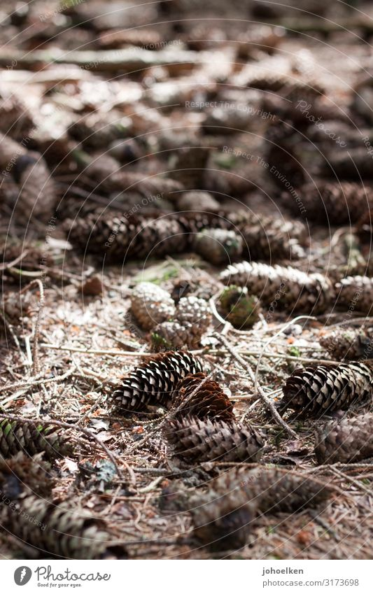 Pine cone on forest floor Fir cone Woodground fir needles Autumn Forest October Sunspot Shadow Nature Brown Exterior shot Deserted Seed Shallow depth of field
