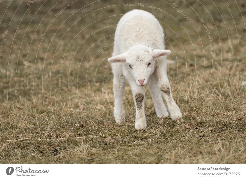 A little sheep is standing in the meadow Summer Nature Park Animal Farm animal Zoo Petting zoo 1 Feeding Jump Warm-heartedness mammal lamb agriculture young