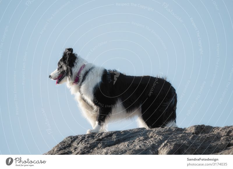 A border collie photographed while hiking in the mountains Nature Animal Pet Dog 1 Feeding Walking Love Playing Happy Joy Watchfulness Teamwork black