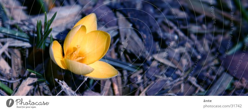 crocus Crocus Yellow Flower Spring Sprout Wake up Triangle Fresh Flashy Characteristic Loneliness Light Jump Blossom Spring flower Winter February March Hope