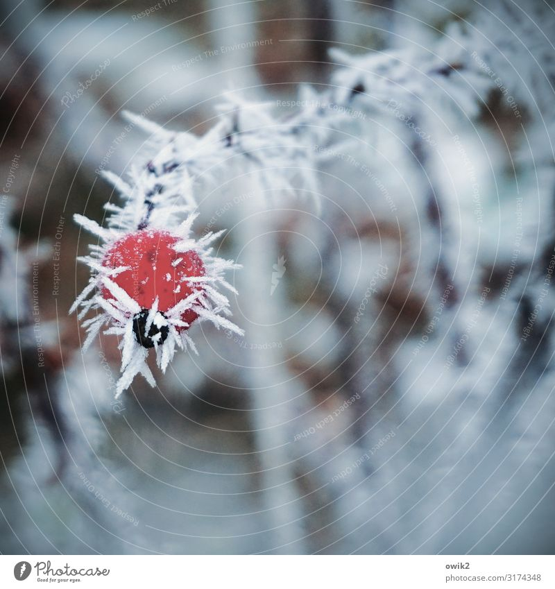 Undercooled Environment Plant Winter Ice Frost Wild plant Rose hip Twig Cold Near Point Thorny Red Ice crystal Frozen Colour photo Exterior shot Close-up Detail