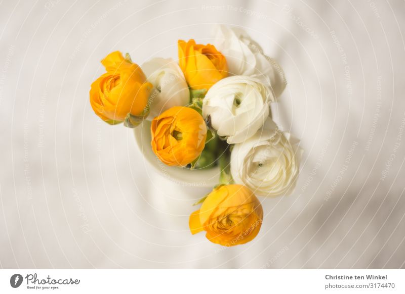 Ranunculus flowers in a white vase on a light background Plant Flower Blossom Buttercup Bouquet Vase Esthetic Exceptional Fragrance Elegant Friendliness
