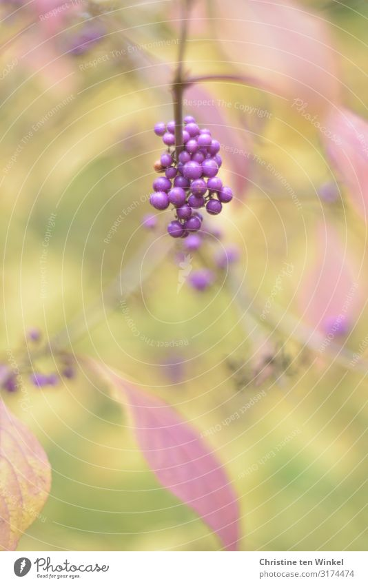 purple berries at the love pearl bush Nature Plant Autumn Bushes Leaf fruit of the palate Callicarpa Berry seed head Esthetic Exceptional Fantastic Happiness