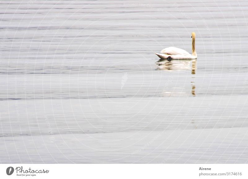 Beautiful Water White Animal Loneliness Calm Freedom Lake Swimming & Bathing Waves Esthetic Romance Elements Serene Pure
