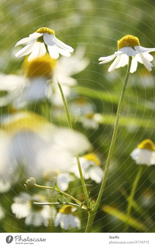 Wild chamomile Environment Nature Plant Summer Flower Blossom Wild plant Chamomile Camomile blossom Medicinal plant Meadow Field Blossoming Growth Healthy