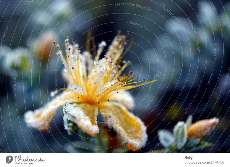 yellow blossom covered with ice crystals in autumn against a blue background Environment Nature Plant Autumn Ice Frost Flower Leaf Blossom Bud Park Blossoming