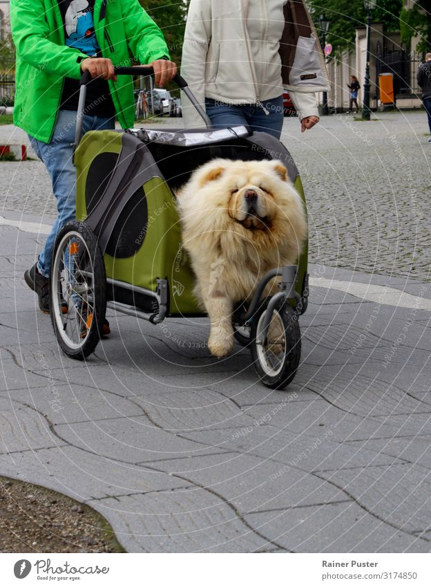 Dog in buggy Duesseldorf Downtown Street Baby carriage 1 Animal Gold Gray Green Contentment Love of animals Indifferent Comfortable Joy Colour photo