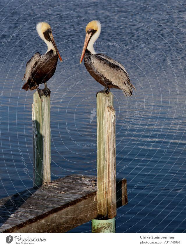 Two pelicans sitting on wooden dolphins Pelican Couple two Bird pier Wood pier wooden walkway Pelecanus Water waterfowls Ocean Coast Observe observantly