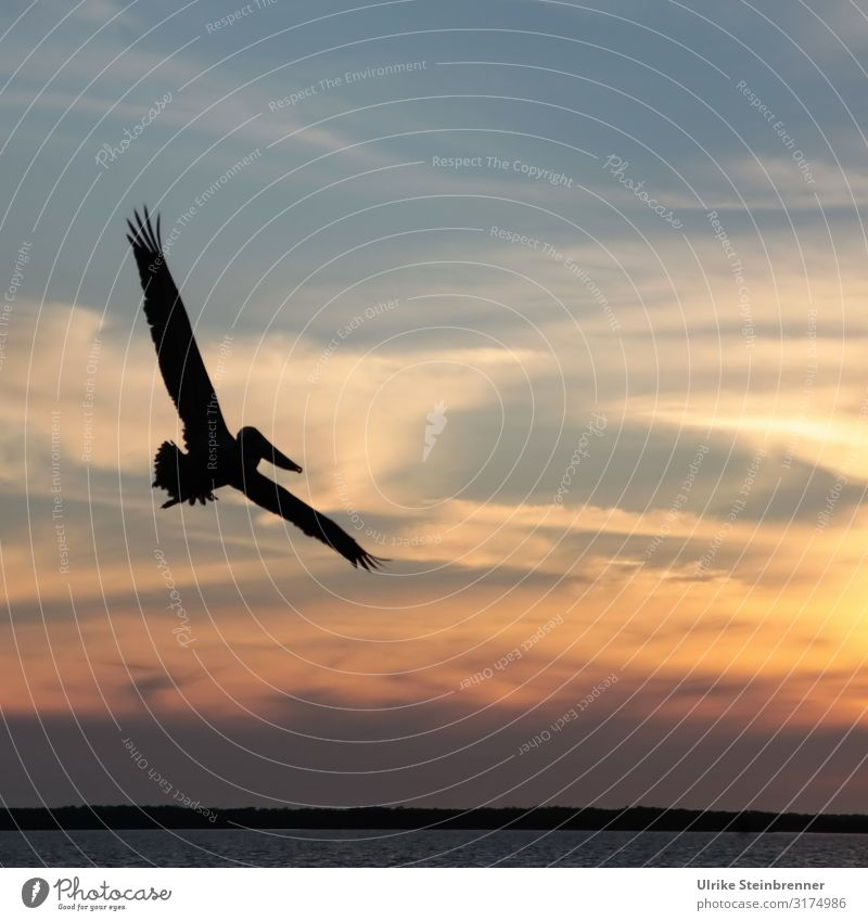 Pelican flies as a silhouette before the evening sky Bird Grand piano Wild animal Colour photo Key West USA Florida Keys Ocean Coast waterfowls Water Sunset