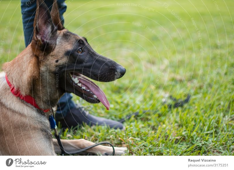 Profile of a dog Friendship Feet Nature Animal Grass Park Pet Dog 1 Cute Brown Green Black Shepherd german malinois German Shepherd Dog Puppy Breed sheepdog
