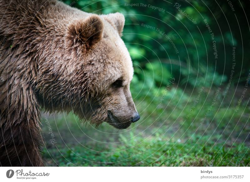 as strong as an ox Nature Summer Meadow Forest Wild animal Animal face Brown bear 1 Esthetic Authentic Cuddly Positive Beautiful Strong Green Contentment Power