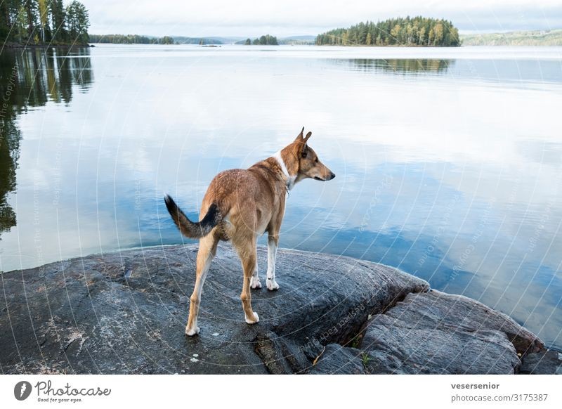 Collie at the lake Lakeside Pet Dog 1 Animal Observe Looking Curiosity Love of animals Watchfulness Interest Adventure Discover Expectation Far-off places