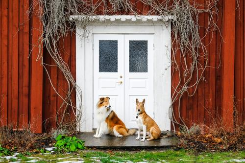 Two crooks Pet Dog Collie 2 Animal Looking Sit Friendliness Together Happy Curiosity Happiness Contentment Safety Protection Friendship Love of animals