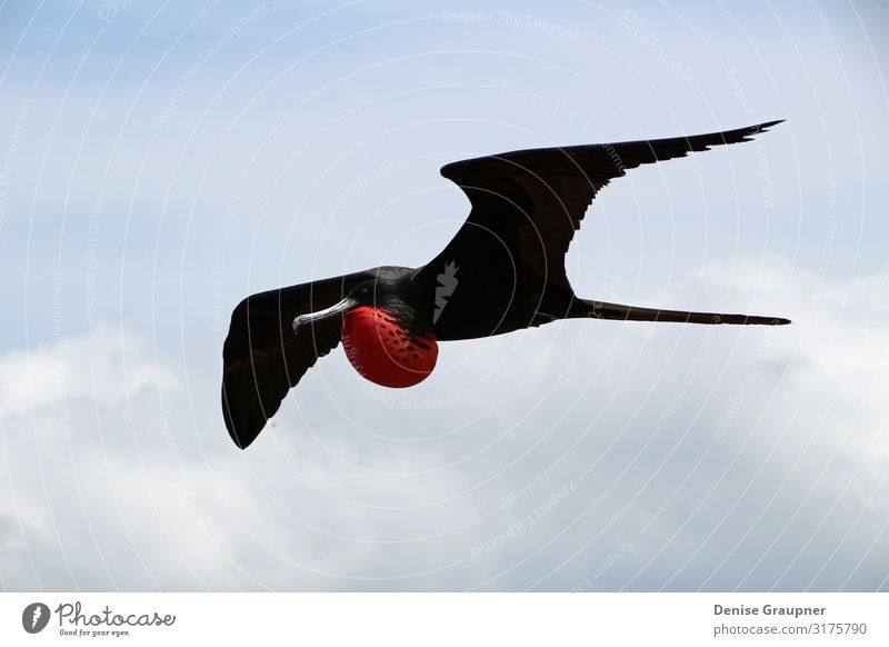 Flying male frigate bird in the Galapagos Islands Environment Nature Landscape Climate Beautiful weather Park Animal Bird 1 Vacation & Travel Galapagos islands