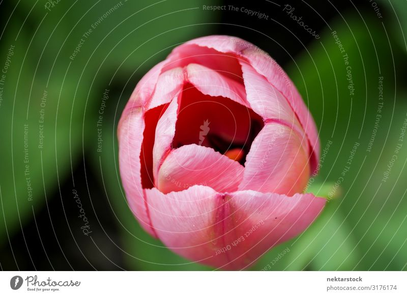 Pink Tulip Flowerhead Partly Open Beautiful Plant Blossom Blossoming Growth Fresh Hope Peace Bud Blossom leave spring one Botany Beauty Photography botanical