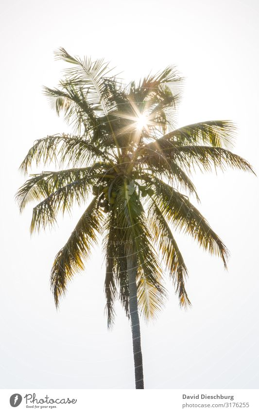 palm Vacation & Travel Summer vacation Sunbathing Nature Cloudless sky Spring Beautiful weather Plant Idyll Brazil Palm tree Palm frond Palm beach