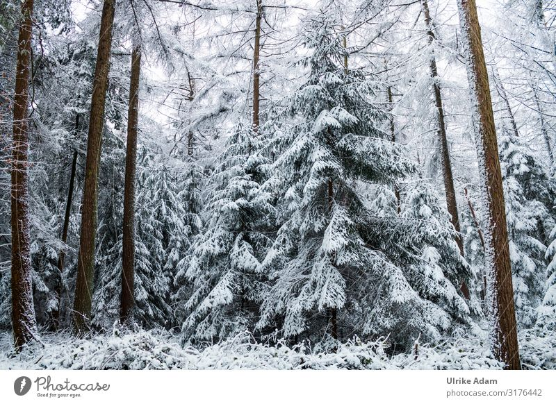 Snow-covered firs in the forest Vacation & Travel Tourism Trip Winter Winter vacation Hiking Card Christmas & Advent Nature Landscape Plant Climate change Ice