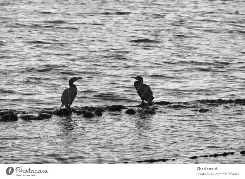 Nature Water Animal Calm Black To talk Natural Stone Bird Together Gray Moody Contentment Communicate Wild animal Idyll